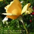 Gelbe Rose. Zitat von Calamity Jane. Wenn es etwas gibt, was die Welt haßt, so ist es eine Frau, die sich selbst um ihre Angelegenheiten kümmert.