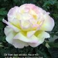 Rosafarbene Rose. Zitat von Coco Chanel. Ein Mann kann anziehen, was er will - er bleibt doch nur ein Accessoire der Frau.