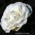Weiße Rose. Zitat von Maria von Ebner-Eschenbach. Als eine Frau lesen lernte, trat die Frauenfrage in die Welt.