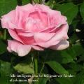 Rosafarbene Rose. Zitat von Maria von Ebner-Eschenbach. Jede intelligente Frau hat Millionen von Feinden: alle dummen Männer.