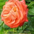 Orange Rose. Zitat von Rosa Mayreder. Man wird erst wissen, was die Frauen sind, wenn ihnen nicht mehr vorgeschrieben wird, was sie sein sollen.