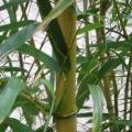 Mariahilfer Ruhe- und Therapiepark - Bambus Detailansicht