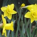 Mariahilfer Ruhe- und Therapiepark - Erster Frühlingsgruß - Märzenbecher