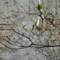 Mariahilfer Ruhe- und Therapiepark - Zweig mit Magnolienknospen vor einer alten Ziegelmauer