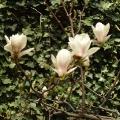 Mariahilfer Ruhe- und Therapiepark - Magnolienblueten vor einer mit Efeu bewachsenen Wand