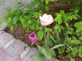 Mariahilfer Ruhe- und Therapiepark - Tulpen