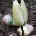 Tulpe mit Regentropfen im Ruhepark