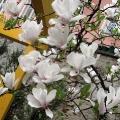 Magnolienbluete im Ruhepark