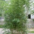 Bambus Gesamtansicht