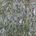 Bambus im Schnee Detailansicht